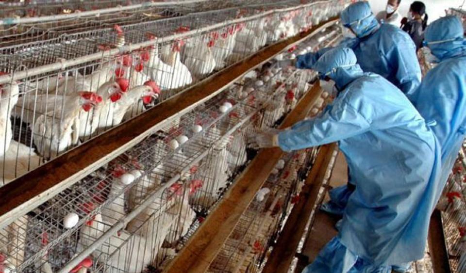 154734_bird-flu