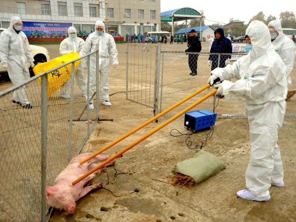 Có tên chính thức là bệnh sốt heo châu Phi (African swine fever), bệnh tả heo châu Phi đang bùng phát mạnh ở Trung Quốc và được cảnh báo có thể lan đến các nước láng giềng ở Đông Nam Á hoặc bán đảo Triều Tiên. Bệnh chưa có vắc xin phòng ngừa.