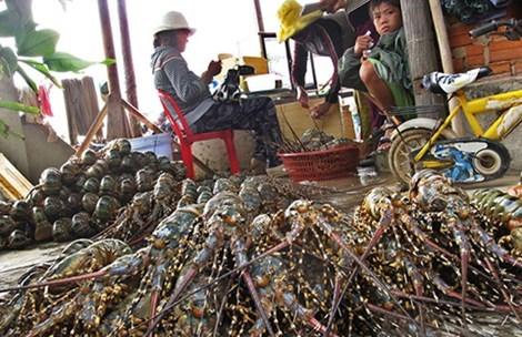 Các thương lái Trung Quốc mua gom tôm hùm theo kiểu đổ đồng, không phân loại