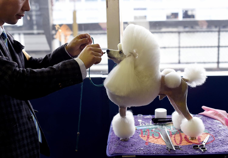 4. Một con Toy Poodle trong khu vực dự bị ngày thứ nhất của cuộc tranh tài Westminster Dog Show.