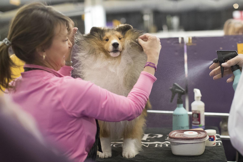 9. Turner, một con chó chăn cừu quần đảo Shetland đang được Michelle Miller chải lông trong khu vực biểu diễn hôm 13.2 tại New York.