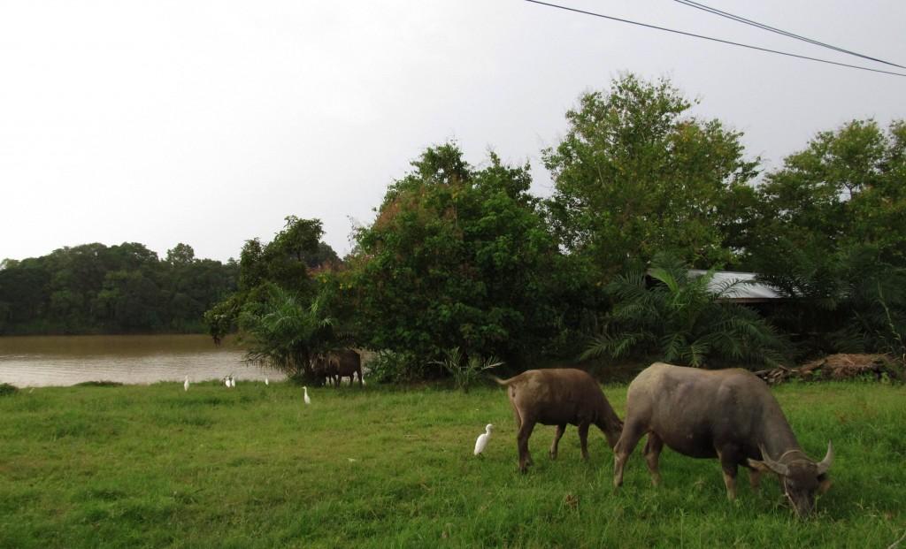 1a. Chiều quê êm đềm Sukau với đàn trâu lũ cò bên dòng Kinatabangan.