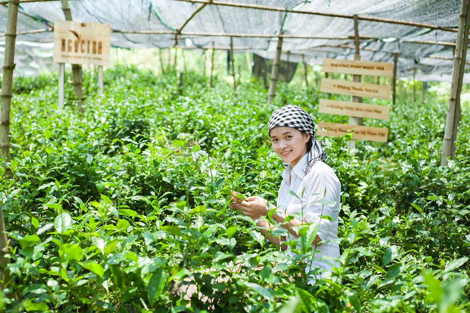 ngọc trà trong vườn trà