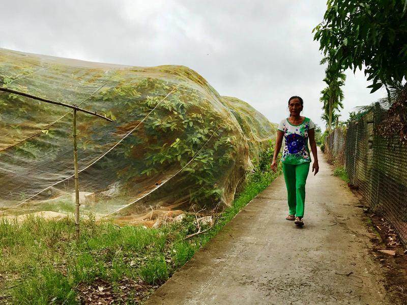 Vườn mận phủ màng lưới bao trái ở cù lao Tân Lộc - ảnh HP