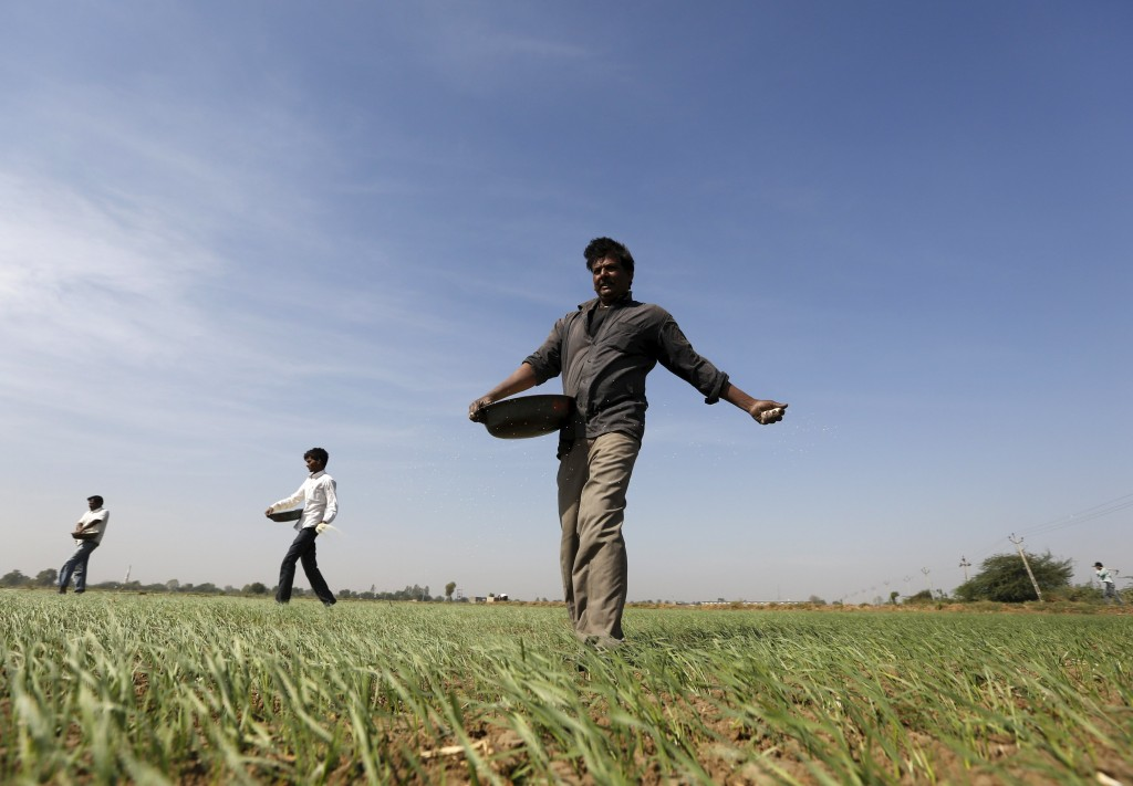 Farmers sprinkle fertilizer on a wheat field on the outskirts of Ahmedabad, December 15, 2015. REUTERS/Amit Dave